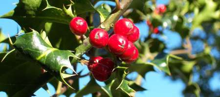 Holly Myths
