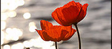 Remembrance day poppies flower experts gives you tips and advice on remembrance day poppies mightylinksfo