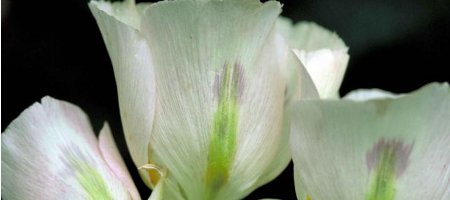 Consider the Lily; the Meaning of sending Lilies