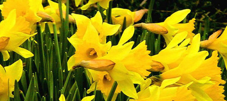 Fluttering and Dancing: The Meaning of Daffodils