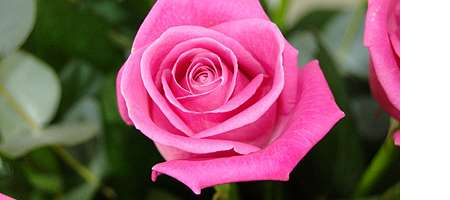 Meaning Of The Pink Rose